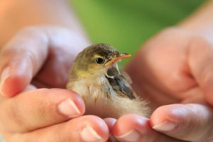 baby bird cradled in human hands